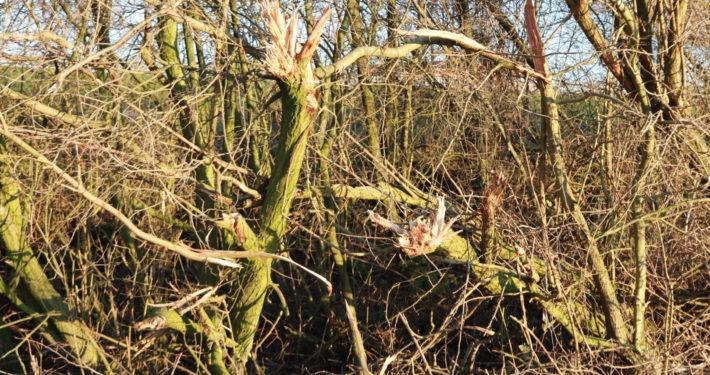 gesnoeide bomen spoor grou
