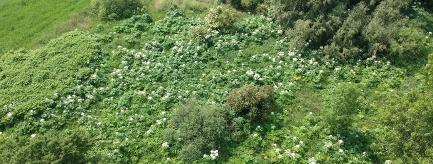Reuzenberenklauw woektert in natuurgebied Timertsmar nabij Grou