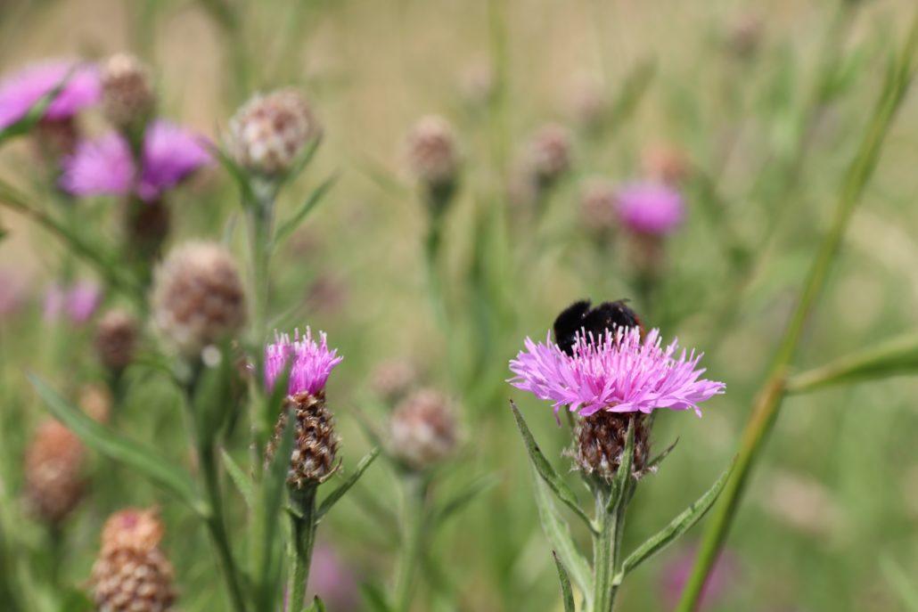 Bijen en bloemen in Grou.