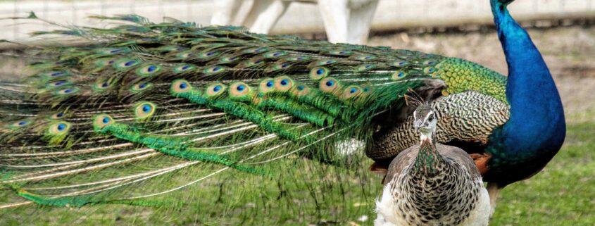 Vogelgriep dood geliefde pauw Grou