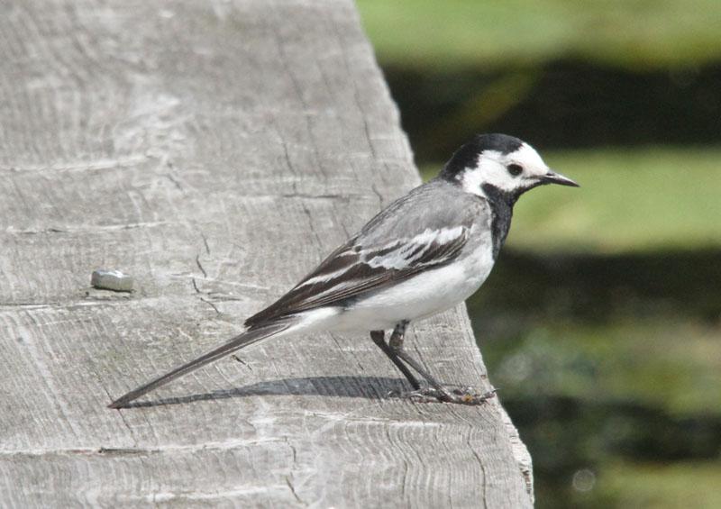 Ook vogelhuisjes voor kwikstaarten